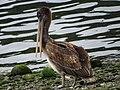 17 Puerto Montt (50) rjavi pelikan Pelecanus occidentalis.jpg