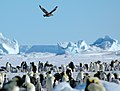 2007 Snow-Hill-Island Luyten-De-Hauwere-Emperor-Penguin-76.jpg