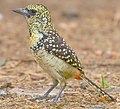 2009-darnauds-barbet.jpg
