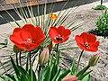2011 Tulips 2 (5767305428).jpg