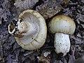 2012-06-09 Russula foetens Fr 408490.jpg