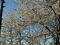20120401Kirschbluete Neulussheim03.jpg