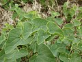 20120624Aristolochia clematitis3.jpg