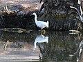2014, Snowy Egret, Egretta thula - panoramio.jpg