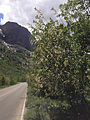 2014-06-13 14 55 57 Choke Cherries blooming along Lamoille Canyon Road in Lamoille Canyon, Nevada.JPG
