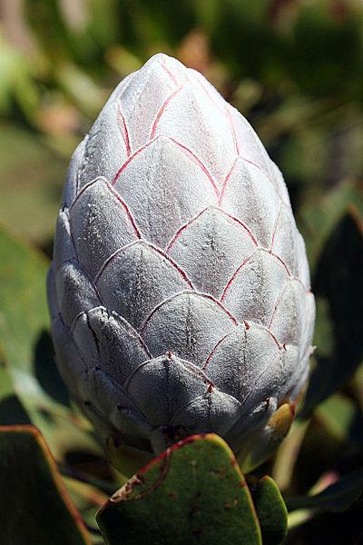 File:2014-11-22 10h07 Protea cynaroides anagoria.JPG