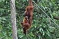 2014 Borneo Luyten-De-Hauwere-Bornean orangutan-05.jpg