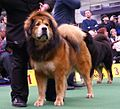 2014 Westminster Kennel Club Dog Show (12486389865).jpg
