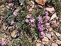 2015-05-05 12 04 31 Wild flowers on the summit of Elko Mountain, Nevada.jpg