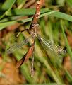 2015-08-05 15-29-22 lestidae.jpg