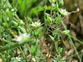 20160622Arenaria serpyllifolia3.jpg