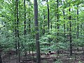 2017-08-10 14 15 04 Forest along the Gerry Connolly Cross County Trail between Miller Heights Road and Vale Road in Oakton, Fairfax County, Virginia.jpg