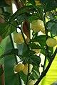 20171014 - Capsicum chinense Jacq. '7 Pot White' - 2.jpg