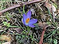 2018-02-15 15 26 30 An early crocus blooming along Terrace Boulevard in Ewing Township, Mercer County, New Jersey.jpg