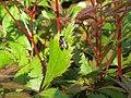 2018-05-13 (158) Cercopis vulnerata (froghopper) on plant at Bichlhäusl in Frankenfels, Austria.jpg