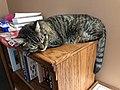 2019-11-03 11 05 10 A tabby cat lying on a bookshelf in the Franklin Farm section of Oak Hill, Fairfax County, Virginia.jpg
