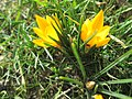 20190223Crocus chrysanthus2.jpg