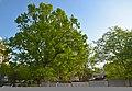 61-101-5004 Ternopil Oak DSC 9982.jpg