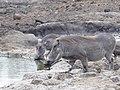 7 Warthog Warzenschwein (36259151973).jpg
