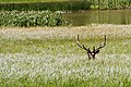 A107, Yellowstone National Park, Wyoming, USA, elk, 2004.jpg