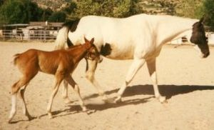 American Paint Horse - Solid Paint-bred foal. Sire was a sorrel and white tobiano, dam is a black and white tovero. Foal is a solid Chestnut.