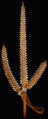 A Gilbertese shark tooth weapon (FMNH 99071) - journal.pone.0059855.g001 b.png