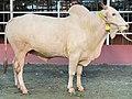 A Mirkadim bull in a cattle farm in Dhaka.jpg