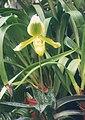 A and B Larsen orchids - Paphiopedilum rosetti Goliath 473-10.jpg