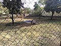 A big bird in Siddhartha Garden and Zoo.jpg