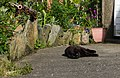 A cat in Laxey, Isle of Man.jpg
