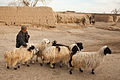 A child herds sheep through a street, while U.S. Soldiers of Task Force Spartan conduct clearing operations in Sher'Ali Kariz, Maiwand district, Kandahar province, Afghanistan, Feb 120224-A-QD683-110.jpg