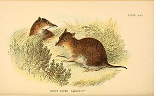 Southern brown bandicoot - 19th-century illustration
