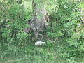 A lamb sleeping in the roots of a tree in a ring ditch at Avebury at summer solstice 2014.JPG