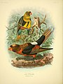 A monograph of the lories, or brush-tongued parrots (Plate XV) (8006794722).jpg