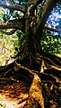 A tree at Peradeniya botanical garden.jpg