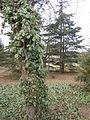 A tree with ivy, Odessa.jpg