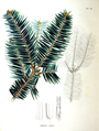 Abies firma SZ109.png