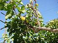 Abricots sur l'arbre au Barroux.jpg