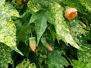 Abutilon pictum serres du Luxembourg