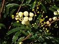 Acacia Terminalis flower.jpg