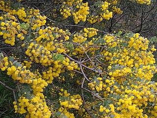 <i>Acacia brachybotrya</i> Species of plant