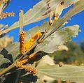Acacia colei flowers.jpg