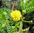 Acacia karroo . Fabaceae - Flickr - gailhampshire.jpg
