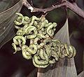 Acacia mangium tanglebeans (10078368486).jpg