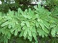 Acacia robusta, loof, Buffelsdrift, a.jpg