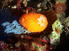 Acanthodoris lutea in california tide pools 2.jpg