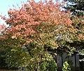 Acer ginnala (Habitus).jpg