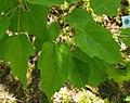Acer stachyophyllum ÖBG 2012-05-20 02.jpg