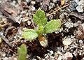 Achillea millefolium kz11.jpg
