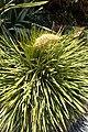 Aciphylla aurea kz1.jpg